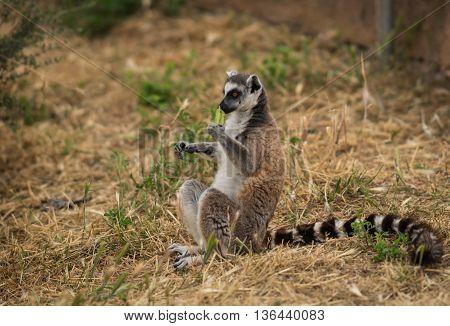 Image Of Lemur In Natural Habitat