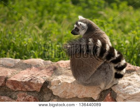 Red Lemur  In Natural Habitat