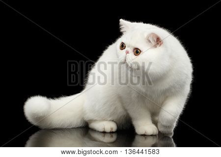Unusual Pure White Exotic Cat Standing with Big Red Eyes on Isolated Black Background Front view Furry Tail