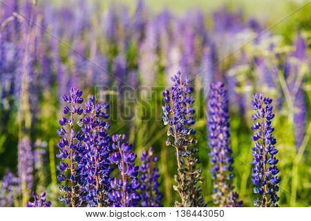 Purple Lupine Field