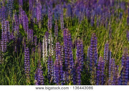 Purple And White Lupine Field
