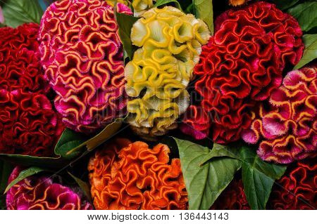 colorful red yellow orange celosia flower background