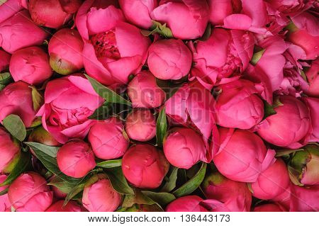 fresh pink peony flower texture background close up