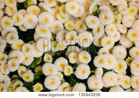 white and yellow Daisy Bellis flower background texture