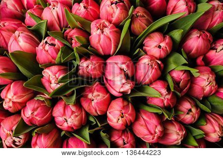 Fresh bright pink tulips with green leaves nature spring background. flower texture