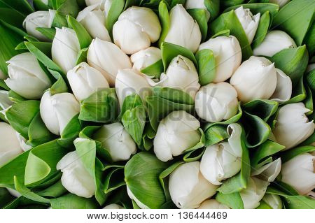 Fresh white tulips with green leaves nature spring background. flower texture