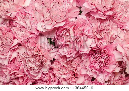 Beautiful background of pink carnation top view