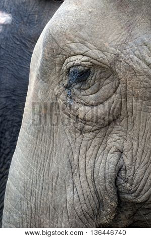 Close-up portrait of an Asian elephant (Elephas maximus)