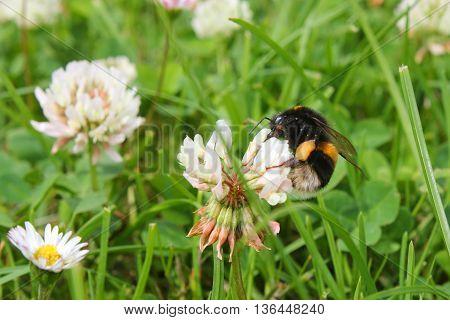 A Buff-Tailed Bumblebee feeding on a clover flower