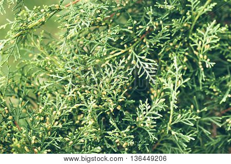 Evergreen thuja foliage and cones on branches on green background