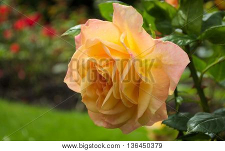 Rose (Rosa Amber Queen) in a rose garden while raining