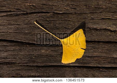 closeup of yellow ginkgo biloba leaf on wood