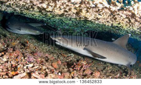 White tip sharks below a table coral near Bali island