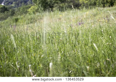 Meadow with a high grass and field florets in the summer solar morning
