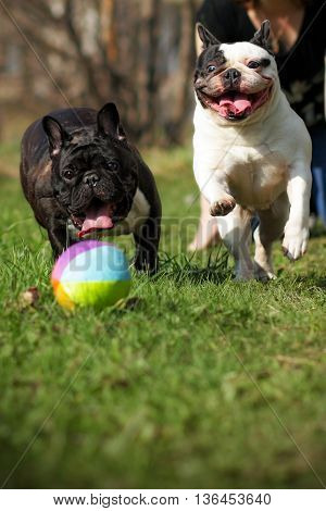 two happy dogs French bulldogs playing ball in the summer on the nature