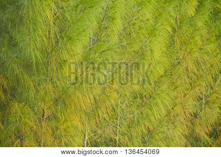 Full image of a coniferous trees in the forestBackground pine.