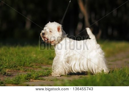 dog West highland white Terrier standing in show position in the summer on the lawn in the Park on a leash