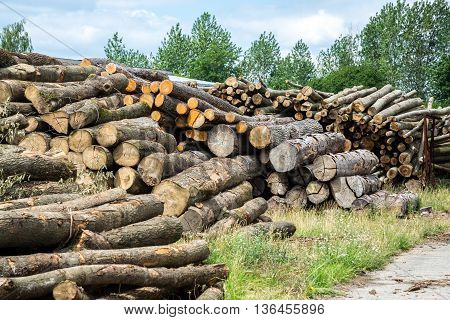 many pine wood logs of trees in forest