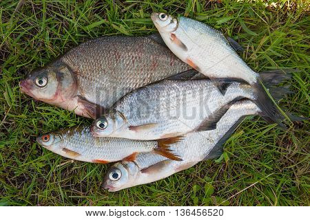 Several Common Bream Fish And Silver Bream Or White Bream Fish On Green Grass.