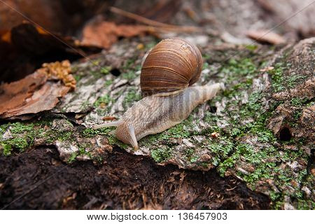 Helix Pomatia, Common Names The Burgundy Snail, Roman Snail, Edible Snail Crawling On The Trunk Tree