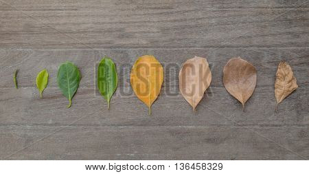 Concept season change of leaves jackfruit on tabel background