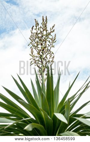 yucca palm in front of blue sky and clouds