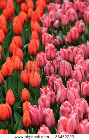 Breathtaking image of peach and pink tulips in Springtime garden.