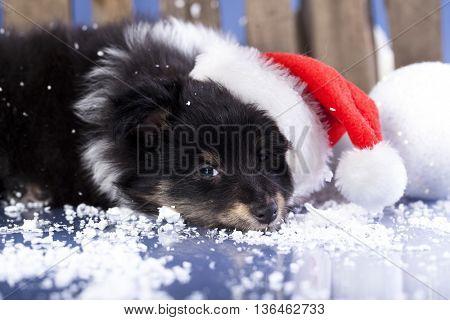Havanese puppy dog in a Christmas - Santa hat.