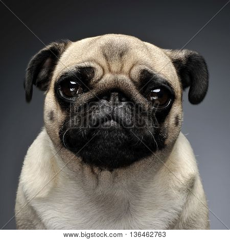 Pug Portrait In A Grey Photo Studio