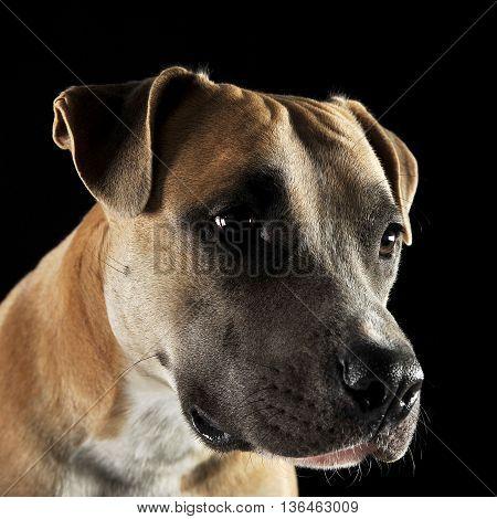 American staffordshire terrier portrait in a white studio
