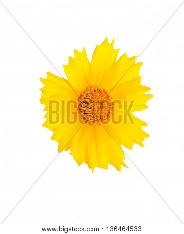 Nice yellow flower head isolated on white background with clipping path