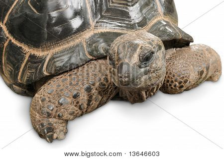 Impressive Giant Tortoise On White