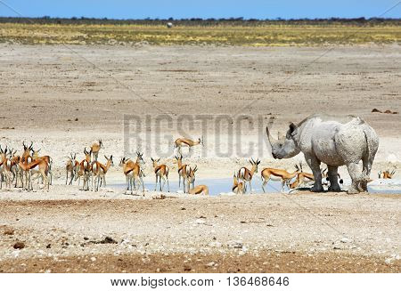 Black rhinoceros next to a waterhole with a herd of impala in etosha national park