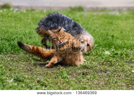 A tabby cat being chased by a terrier dog