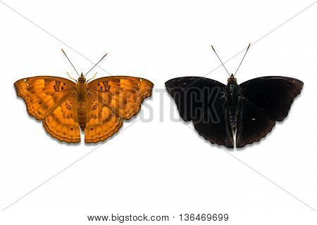 Male Black Prince Butterfly
