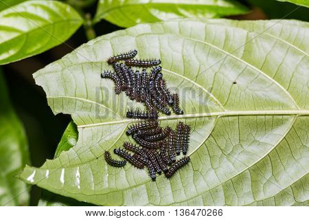 Young Autumn Leaf Caterpillars