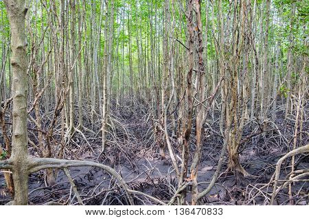 Mangrove forest located at Prasae Rayong Thailand.