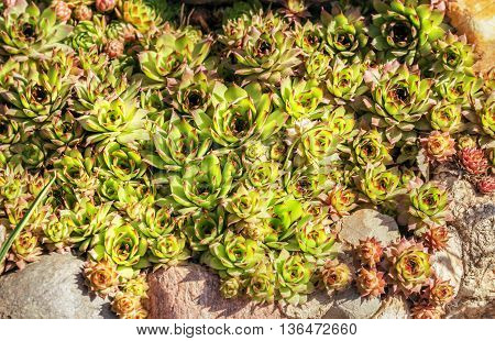 Nice green succulents on rocks in garden in sunny day