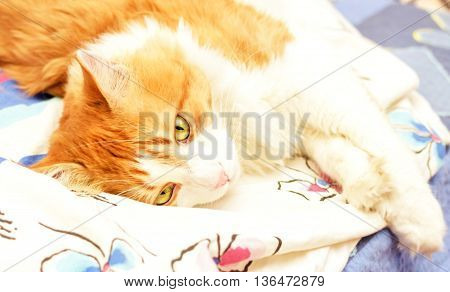 Red adult cat thoughtfully lying on bed