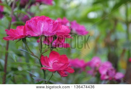 blooming bright pink roseson the green background
