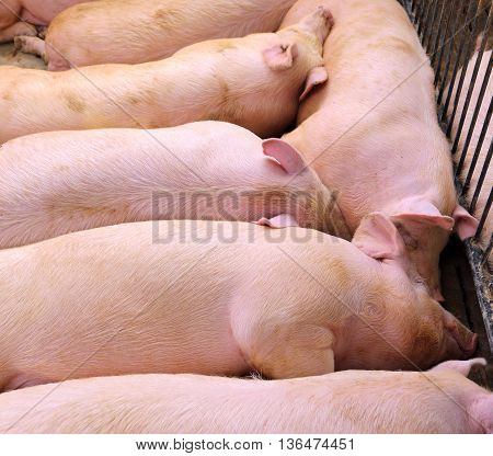 Asleep Pig In Pigbreeding Farm
