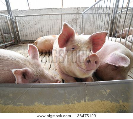 Fat Pigs In A Sty On A Farm