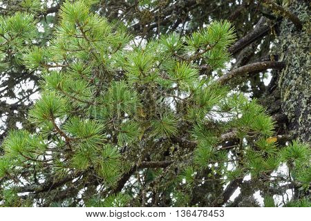 Selective focus of Swiss stone pine needle leaves with lichen growing on its branches, Austria, Europe