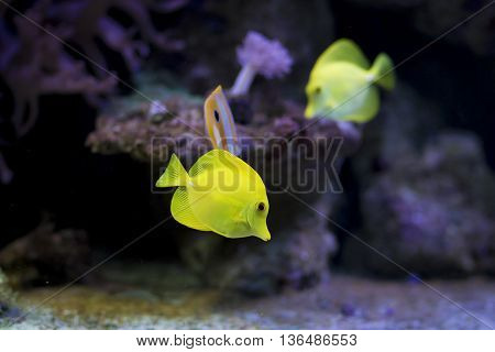 Yellow fish swiming under water close up