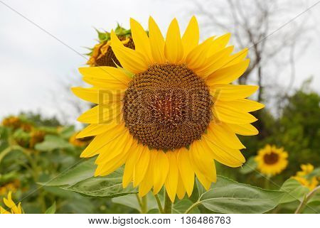 beautiful sunflower with green leaves close up