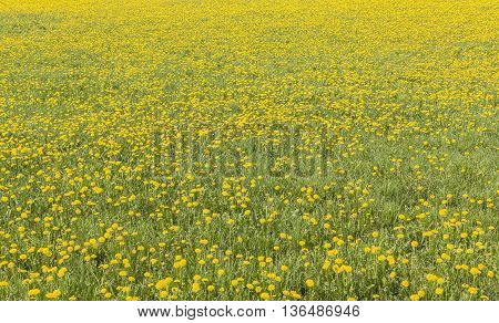 Yellow dandelion field in Finnish countryside in Western Finland.
