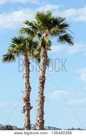 Palm Trees On Blue Sky Background.