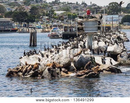 Sea lions and Kormorans in Monterey harbor California USA