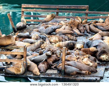Sea lions in Monterey harbor California USA