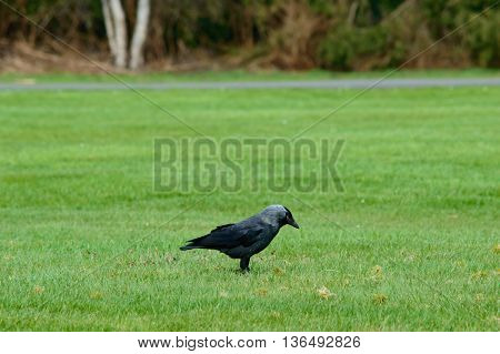 Single large black crow foraging on green grass standing sideways on a lawn with copy space